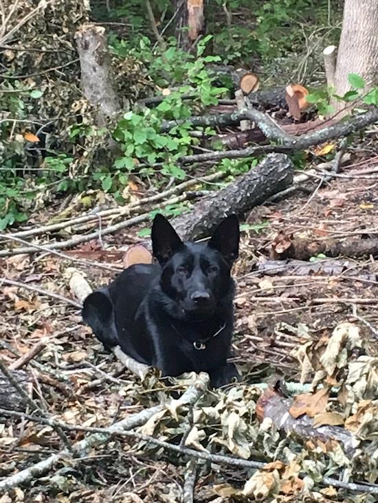 Family Friendly Black German Shepherd Sarra for Sale