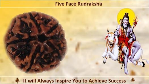 Buy Online Five Face Rudraksha
