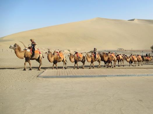 Bactrian Camel Chain