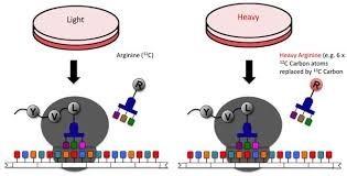 silac proteomics