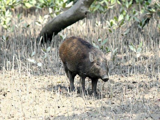 Sundarban Jungle Safari