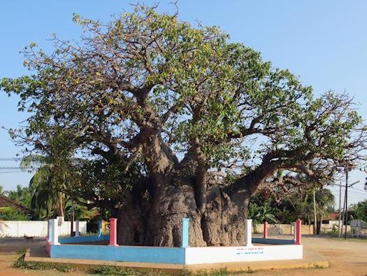 Mannar Baobab